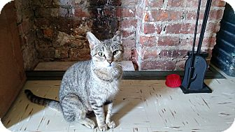 Domestic Shorthair Cat for adoption in Brooklyn, New York - Juno