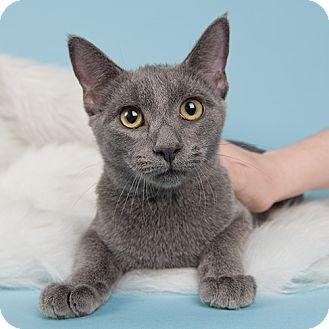 Domestic Shorthair Kitten for adoption in Wilmington, Delaware - Stevie
