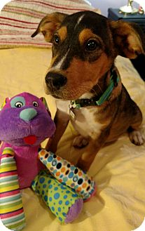 Labrador Retriever/Shepherd (Unknown Type) Mix Puppy for adoption in Marietta, Georgia - Bubba