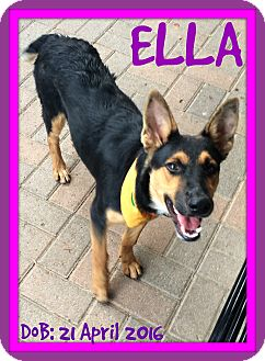 German Shepherd Dog Dog for adoption in Middletown, Connecticut - ELLA