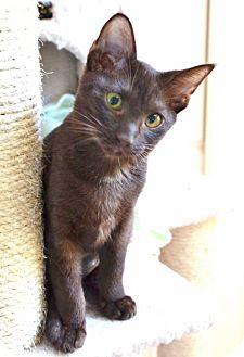 Ocicat Kitten for adoption in Davis, California - Klocka