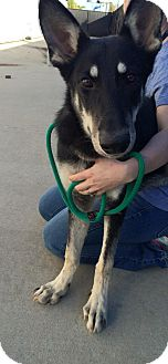 German Shepherd Dog Mix Dog for adoption in Greeneville, Tennessee - Keegan