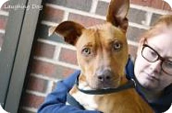 Pit Bull Terrier Mix Dog for adoption in Stillwater, Oklahoma - Felicity