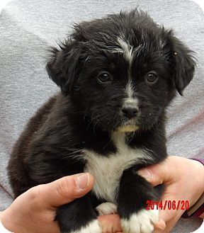 Border Collie/Shepherd (Unknown Type) Mix Puppy for adoption in Niagara Falls, New York - Captain (5 lb) Video!