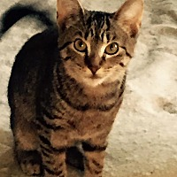Domestic Shorthair Cat for adoption in Clarkson, Kentucky - Twiggy
