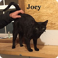 Adopt A Pet :: Joey - Bentonville, AR