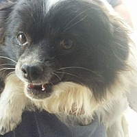Pomeranian/Chihuahua Mix Dog for adoption in Lancaster, California - Rosa