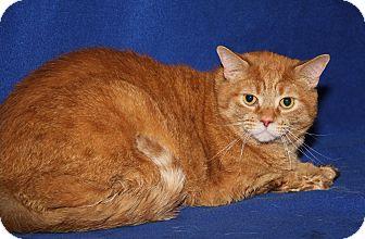 Domestic Shorthair Cat for adoption in Marietta, Ohio - Lowell (Neutered)