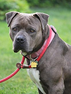 Pit Bull Terrier Mix Dog for adoption in Tracy, California - Sam
