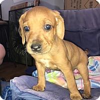 Adopt A Pet :: Meg - Gallatin, TN