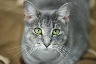 Domestic Shorthair/Domestic Shorthair Mix Cat for adoption in Manteo, North Carolina - Nina