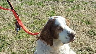 Brittany Dog for adoption in Normal, Illinois - TX/Albert