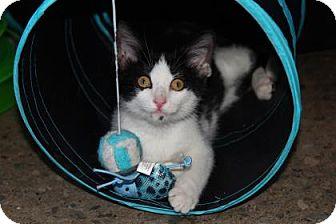Domestic Mediumhair Kitten for adoption in Mission, Kansas - Pabna