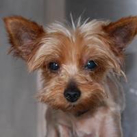 Adopt A Pet :: Tiny TIm - Brooklyn, NY