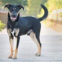 Adopt A Pet :: Striker - Webster, TX