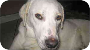 Labrador Retriever/English Pointer Mix Dog for adoption in Pembroke pInes, Florida - Marley