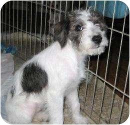 Schnauzer (Miniature)/Poodle (Miniature) Mix Puppy for adoption in North Benton, Ohio - Star Schnoodle