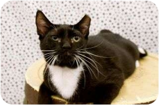 Domestic Shorthair Cat for adoption in Warren, Michigan - Reese
