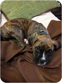 Boxer Puppy for adoption in Arden, North Carolina - Kyah