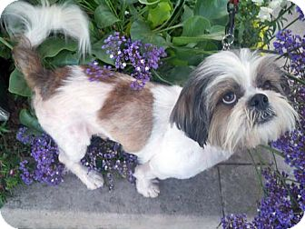 Lhasa Apso Mix Dog for adoption in Los Angeles, California - PATRICK