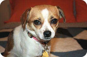 Beagle/Chihuahua Mix Dog for adoption in Los Angeles, California - Poppy - I'm a Cheagle!
