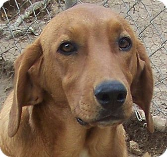 Hound (Unknown Type) Mix Dog for adoption in Centerville, Tennessee - Brutus