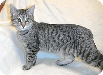 Domestic Shorthair Kitten for adoption in Jackson, Michigan - Gus