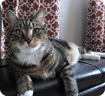 Domestic Shorthair Cat for adoption in Worcester, Massachusetts - Babe (and Oreo)