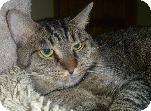 Domestic Shorthair Cat for adoption in Hamburg, New York - Kiwi