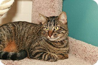 Domestic Shorthair Cat for adoption in Coronado, California - Buttons