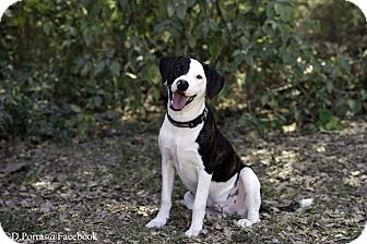 Labrador Retriever Mix Dog for adoption in Victoria, British Columbia - Harley