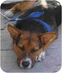 Corgi/Australian Cattle Dog Mix Dog for adoption in Rolling Hills Estates, California - Colorado