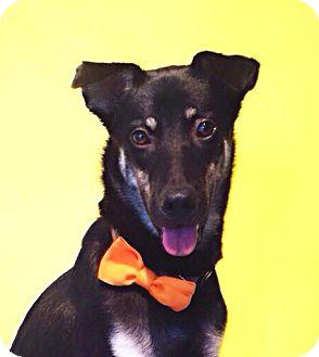 Labrador Retriever/Beauceron Mix Dog for adoption in Castro Valley, California - Sandra