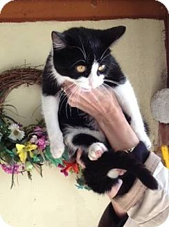 Domestic Mediumhair Cat for adoption in Texarkana, Arkansas - Babette