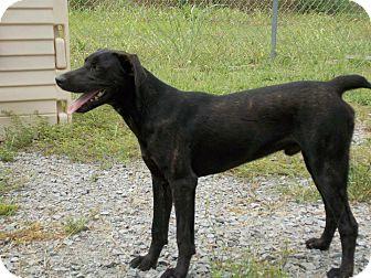 Labrador Retriever Mix Dog for adoption in Lewisville, Indiana - Sam