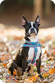Boston Terrier Dog for adoption in Greensboro, North Carolina - Gracie