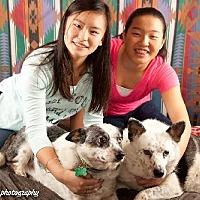 Australian Cattle Dog Mix Dog for adoption in Elizabethtown, Pennsylvania - Ginger & Maryann