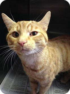 Domestic Shorthair Cat for adoption in Colonial Heights, Virginia - Seamus
