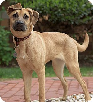 Shepherd (Unknown Type)/Hound (Unknown Type) Mix Dog for adoption in Port Washington, New York - Dori