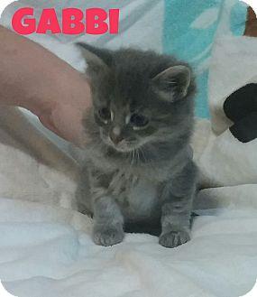 Domestic Mediumhair Kitten for adoption in Saint Clair Shores, Michigan - Gabbi