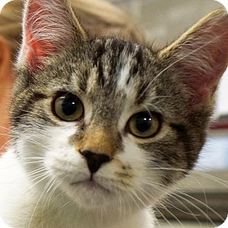 Domestic Shorthair Kitten for adoption in Sprakers, New York - Andy