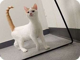 Domestic Shorthair Cat for adoption in Martinsville, Indiana - Keiffer