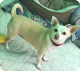 Dachshund/Chihuahua Mix Dog for adoption in Fallbrook, California - Chai