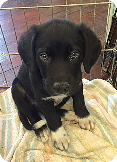 Retriever (Unknown Type)/Hound (Unknown Type) Mix Puppy for adoption in Baltimore, Maryland - Titus