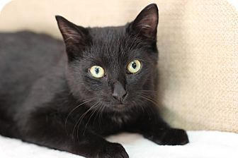 Domestic Shorthair Kitten for adoption in Midland, Michigan - Oscar