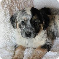Adopt A Pet :: Baylor - Las Cruces, NM
