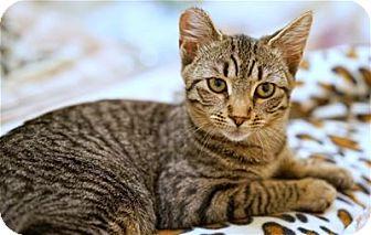 Domestic Shorthair Cat for adoption in Lincoln, California - Artemis