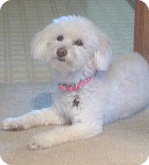 Maltese/Poodle (Miniature) Mix Dog for adoption in Redondo Beach, California - Lily lost her mom
