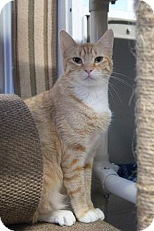 Domestic Shorthair Cat for adoption in Mission, Kansas - Mother Theresa