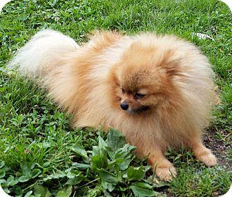 Pomeranian Dog for adoption in Pearisburg, Virginia - Bronson